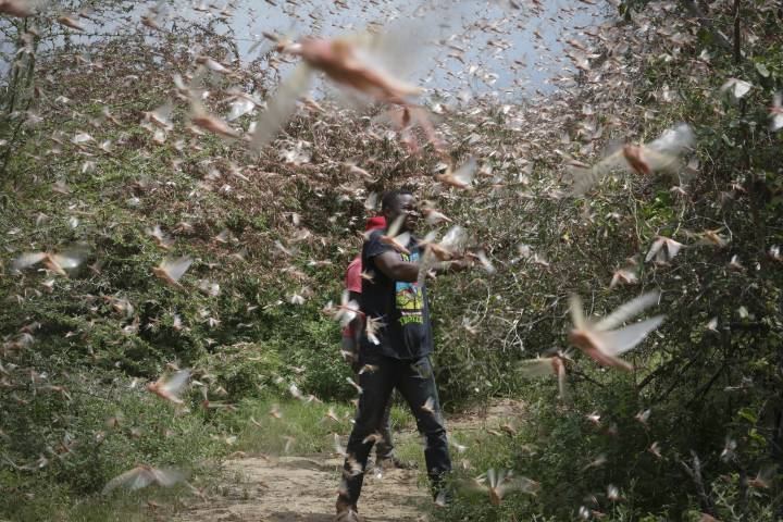 Photo of 'They have eaten everything:' Locust swarms in Africa are worst in decades