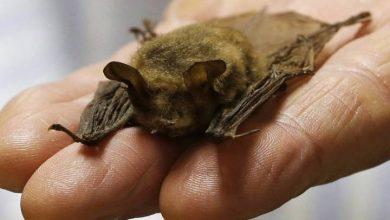 Photo of Canadians bats unlikely to be source of virus strains like new coronavirus: expert