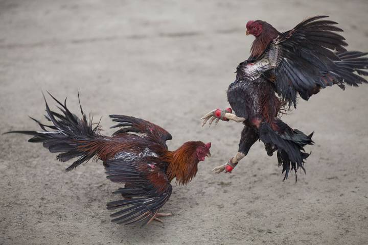 Photo of Indian man dies after razor-laden rooster attacks him on way to cockfight