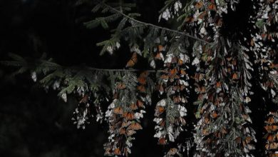Photo of Mexico butterfly guide found dead with knife wounds within days of activist's death