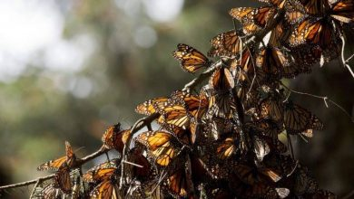 Photo of Monarch mystery: 2 butterfly activists found dead days apart in Mexico