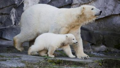 Photo of Melting ice causing polar bears to get thinner, have fewer babies: study