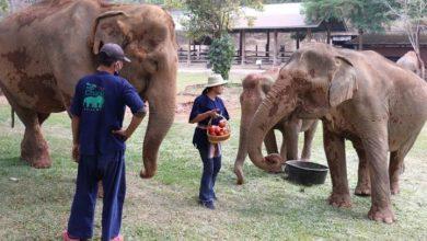 Photo of Thai elephants freed from tourist labour amid coronavirus lockdown