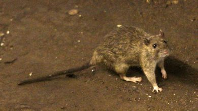 Photo of One hantavirus death in China sparks 'hysteria' over old disease