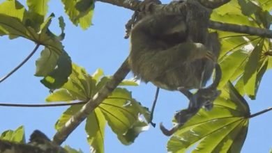 Photo of Sloth gives birth in a tree, baby 'bungee jumps' with umbilical cord