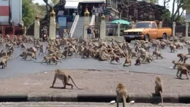 Photo of Starving monkey 'gangs' brawl in Thailand as coronavirus keeps tourists away