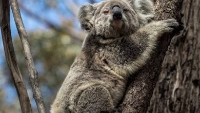 Photo of Several koalas rescued from devastating Australian bushfires now back in the wild