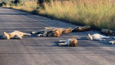 Photo of South African lions take coronavirus cat nap in the street as tourism declines
