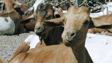 Photo of Tanzanian president blames lab after goat, papaya 'test positive' for coronavirus