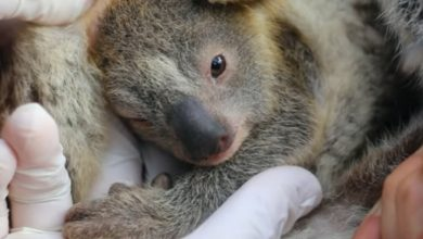 Photo of Australian zoo welcomes 'Ash,' first koala joey born after wildfires