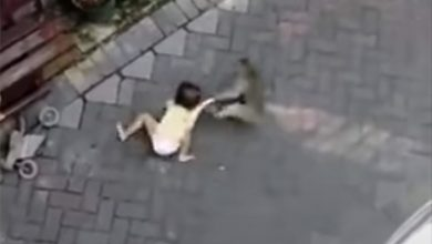 Photo of Monkey riding tiny bicycle attacks toddler in Indonesia