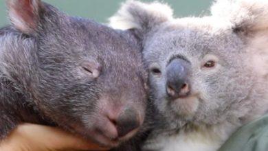Photo of Koala, wombat become 'iso-buddies' during coronavirus lockdown