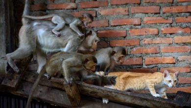 Photo of Thailand's 'Monkey City' overrun by gangs of hungry, horny macaques