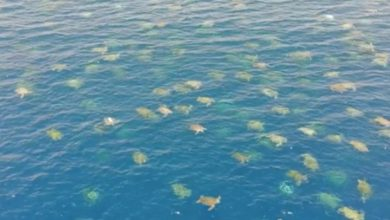 Photo of Drone captures incredible footage of 'largest green turtle gathering ever seen'
